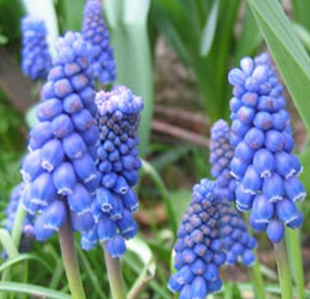 Imprimer les fleurs et les bulbes d 39 automne web coles for Planter oignon amaryllis